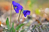 violets flowers blooming on field