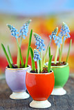Muscari botryoides flowers