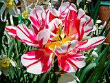 Decorative Tulip