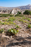 Pumpkin field in Goreme; Turkey