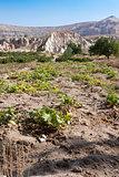 Pumpkin field in Goreme; Turkey