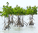 Mangrove plant in sea shore aerial roots