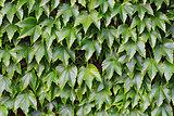 Wild grapes on a brick wall