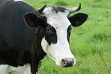 Portrait of black and white cow on a pasture