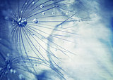Beautiful blue dandelion background