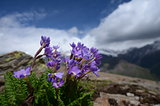 Flowers of Elbrus
