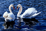 Swans on a lake.