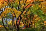 Japanese Maple Tree Canopy
