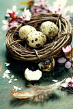 Quail easter eggs in a nest