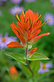 An Indian Paintbrush wildflower springs to life