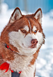 Portrait of Siberian orange Husky in winter