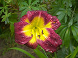 Decorative Lily Flower