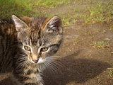 Funny tabby kitten