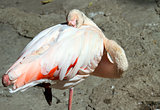 Flamingo pink colour