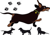 Run dachshund