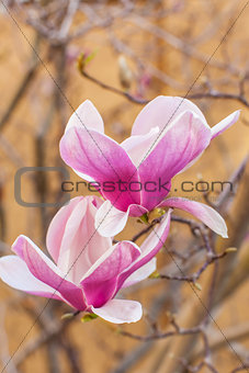 blooming magnolia