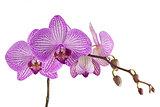 Magentafarbene Orchidee