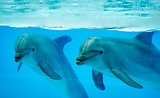 Couple dolphins in a pool