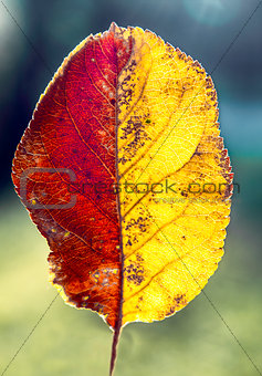 Beautiful two-tone autumn leaf