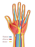Human Hands Anatomy