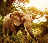 Huge elephant outdoors
