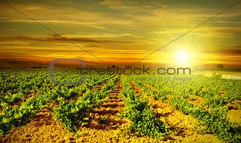 Bright sunset at vineyard
