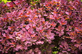 Pink, brown and red barberry bush in garden