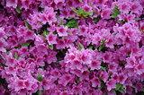 spring blossom, pink petals, azalea, sunlight effect, green, garden, tree