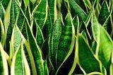 Sansevieria trifasciata Prain