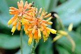 aloe flower in garden