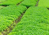 bed of motherwort plants