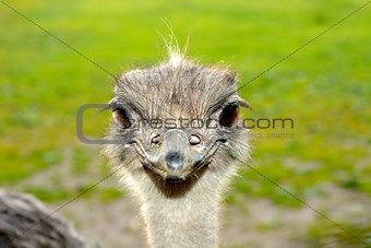 Face Ostrich