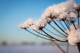 Snow on cow parsnip with sunny winter background