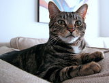 Animals  Pets   very beautiful cat sitting on the couch  looking