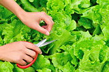 picking lettuce plants in vegetable garden