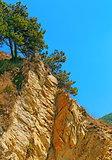 Pine tree on the rock