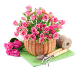 Bunch pink roses in basket with garden tools