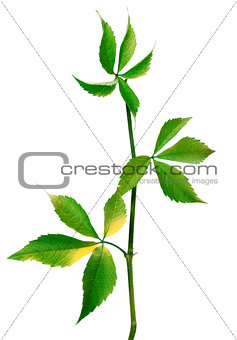 Branch of grapes leaves (Parthenocissus quinquefolia foliage