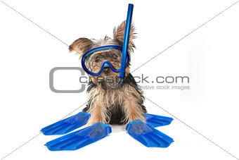 Beach Themed Yorkshire Terrier