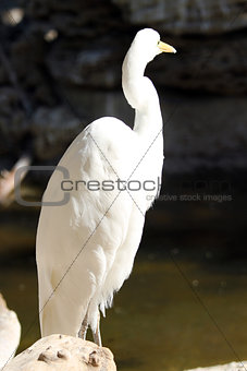 A great egret