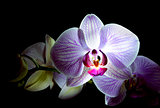 Beautiful Pink Orchid Flowers Isolated on Black Background