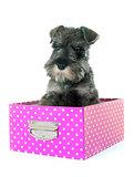 puppy Miniature Schnauze