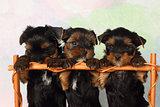Three puppies Yorkshire terrier