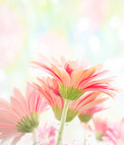 Gerbera Watercolor