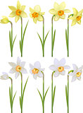 Set with white and yellow realistic daffodils