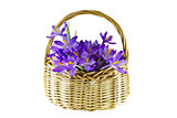 Crocuses in a basket