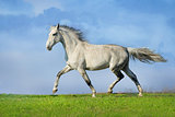Grey horse trotting