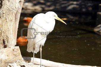A great egret