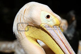 Great pelican (Pelecanus onocrotalus) close up