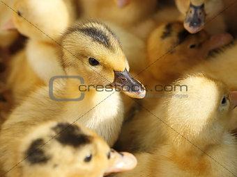 Small ducklings in herds